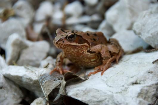 Frosch bei Schotterriese